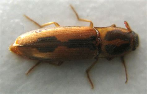 grain beetles in bedroom click beetle tobacco wireworm perhaps what s that bug