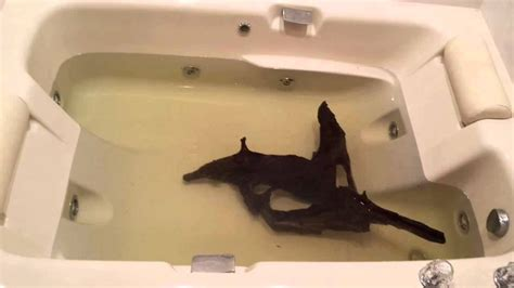 fish in bathtub clean wash driftwood for fish aquariums in bath tub youtube