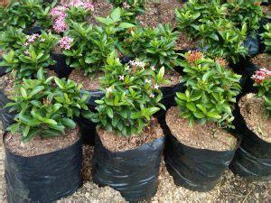 7 cara menanam bunga asoka agar cepat tumbuh panduan lengkap ilmubudidaya com