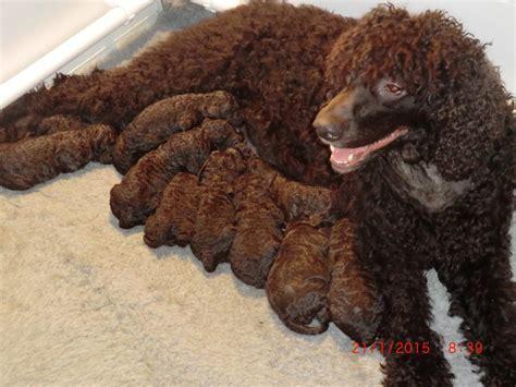 water spaniel puppies puppies islacairn water spaniels