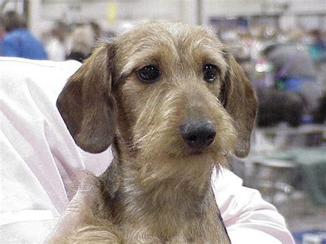 wire haired dachshund puppy wire haired dachshund doxies