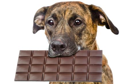 for dogs how much chocolate is toxic for dogs petful