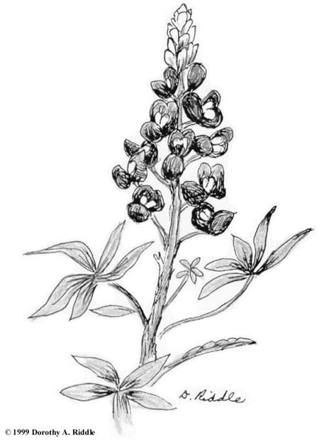 coloring page indian paintbrush 1000 images about bluebonnet on pinterest reunions in