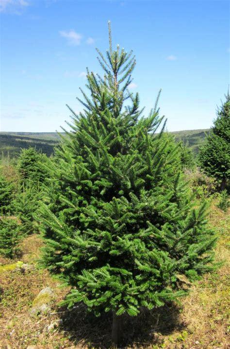 pinos navidad variedades