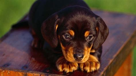 cool puppies animal rottweiler puppies hd wallpaper 1920 1080 cool pc wallpapers five litle pups