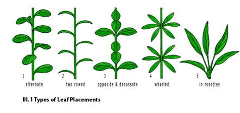 the pattern of leaf arrangement is called aquascaping world magazine plant anatomy part 2 the leaf