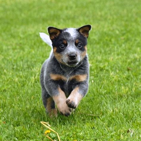 how to a blue heeler puppy roses are and blue heeler puppies are awesome