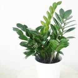 House Plants toxic house plants for dogs zz plant