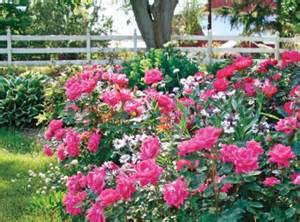 Miniature Plants For Sale by The Pink Double Knock Out 174 Rose Star Roses Amp Plants
