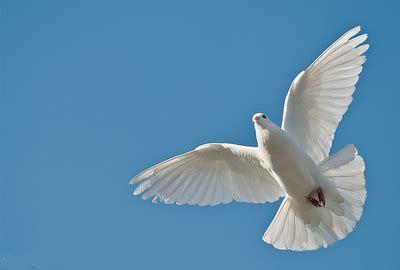 imagenes palomas blancas volando la paloma blanca y su significado de paz kikiriwau