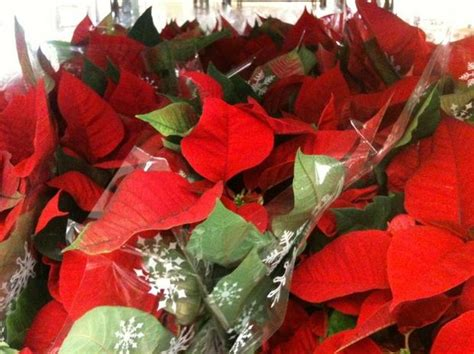 trussville lowes lowe s poinsettias for 98 cents starts friday al