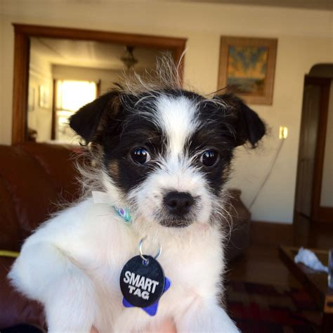 adopt a small rescue small breeds paradise ca breeds picture