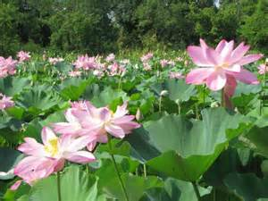 Lotus Pond Lotus Pond Picture Of Kenilworth Park And Aquatic