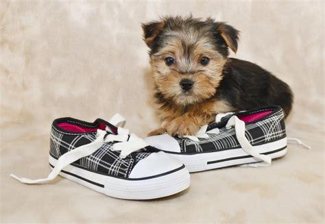 mini teddy puppies mini teddy puppies information mini teddy puppy breeds