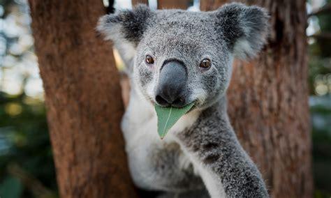 koala  wwf innovating    protect