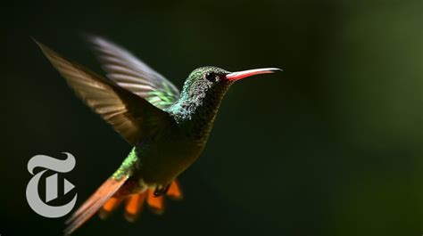 how a hummingbird flies in the wind sciencetake the