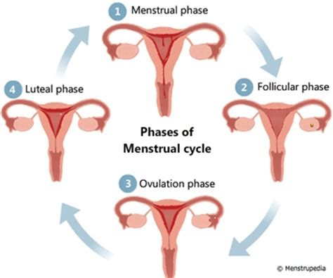Lining Of Your Uterus Shedding During Menstruation by During Menstruation Why Doesn T The Entire Uterine Lining
