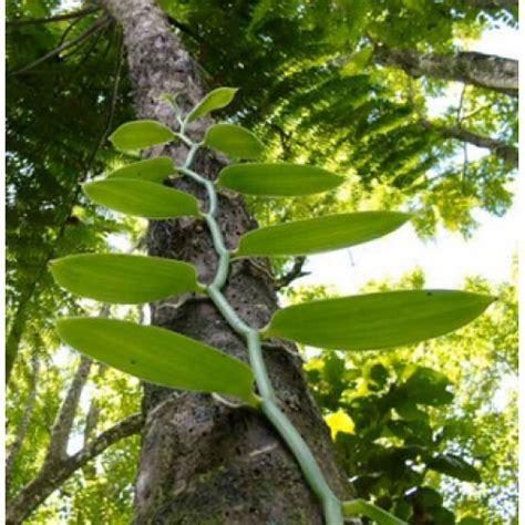 Pupuk Perangsang Bunga Vanili jual bibit vanili
