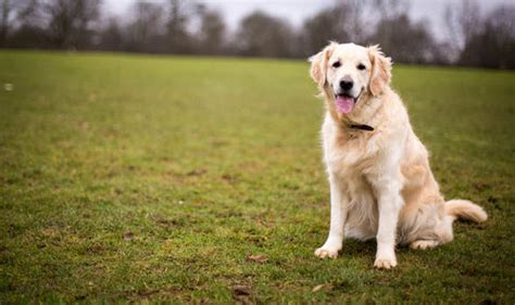 golden retriever puppy aggression my golden retriever goes for dogs that sniff near what can i do nature