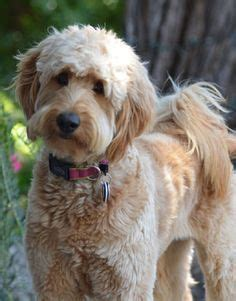 types of goldendoodle haircuts 25 best ideas about goldendoodle haircuts on pinterest