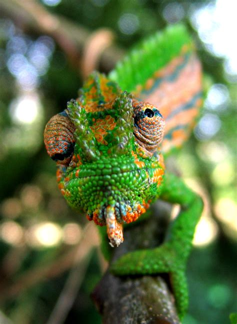 animals that change color how do chameleons and other creatures change colour