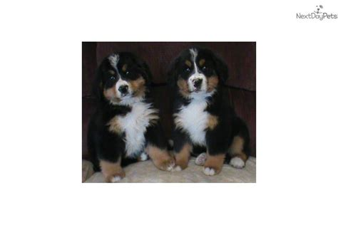 bernese mountain puppies ky bernese puppy