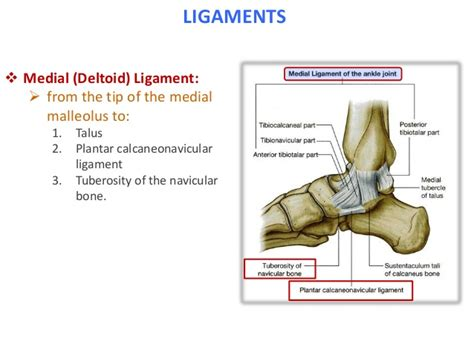 Knee Ankle knee ankle joints