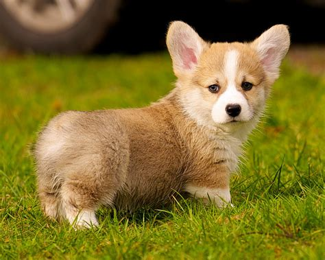 getting puppies getting a corgi puppy and what to expect corgi guide