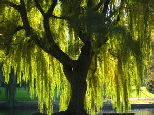 Wisteria Meaning buy weeping willow trees online the tree center