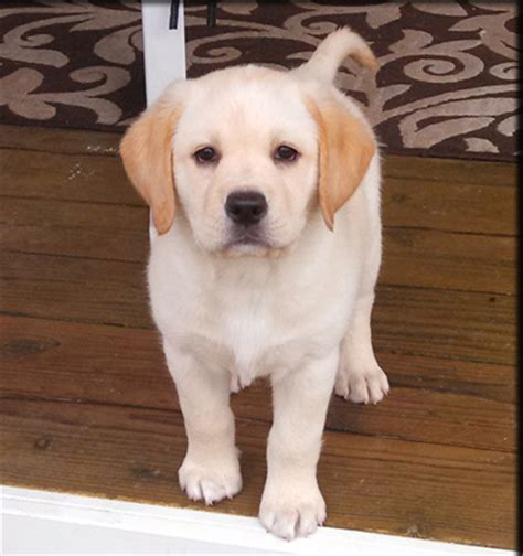 lab puppies for sale in southern california black yellow lab puppies labrador retriever breeder in california black yellow