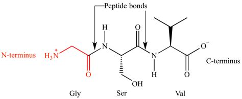 protein n terminus illustrated glossary of organic chemistry n terminus