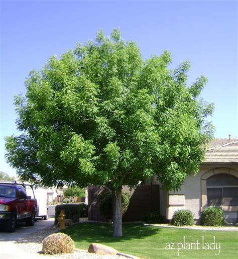 Best Shade Tree For Backyard by Shade Tree Trees Shade Trees Front Yards