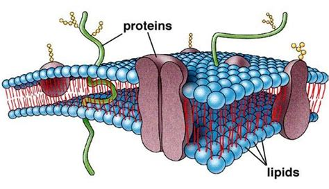 summary  cell membrane biology notes   level