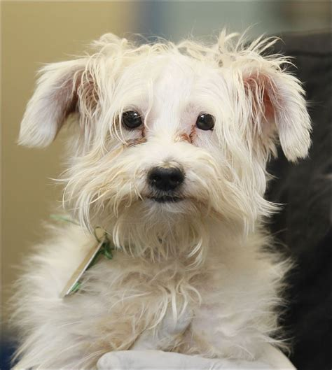 terrier mix puppies for adoption lucas county dogs for adoption 7 13 toledo blade