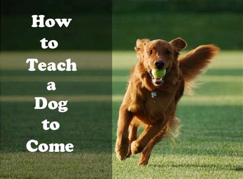 how to teach your to come how to teach a to come when called ultimate guide alldogsworld