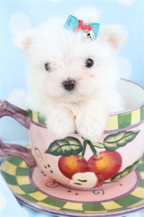 teacup puppies florida teacup maltese puppies picture florida breeders guide