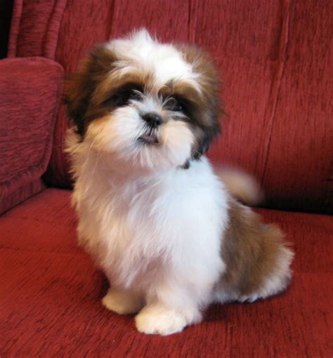 housebreaking shih tzu house a 6 month shih tzu 1001doggy