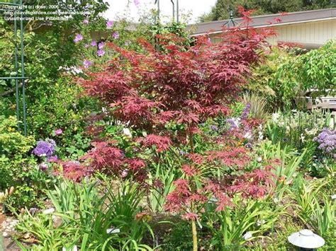 plantfiles pictures japanese maple suminagashi acer palmatum by todd boland