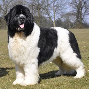 newfoundland puppies nj obedience wallpaper