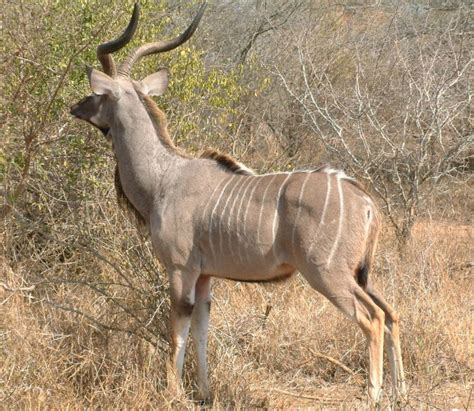 kudu discover interesting facts   beautiful african antelope