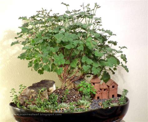 best scented geranium indoors 27 best bonsai geraniums bonsai pelargoniums images on geraniums bonsai and