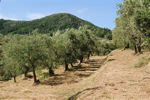 mowing the olive grove notes from a tuscan olive grove
