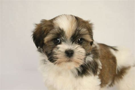 shih tzu teddy mix havanese shih tzu mix teddy puppy a baby maggie dogs