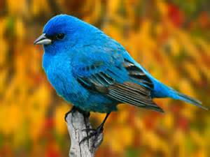 indigo bunting passerina cyanea beautiful birds wallpaper