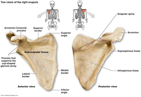 animal anatomy scapula scapula pectoral girdle 4 clavicle scapula the