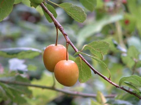 Cherry Plumb by Cherry Plum Prunus Cerasifera Species Information Page