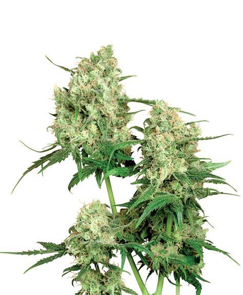 Seed Indica maple leaf indica regular strain sensi seeds cannapedia