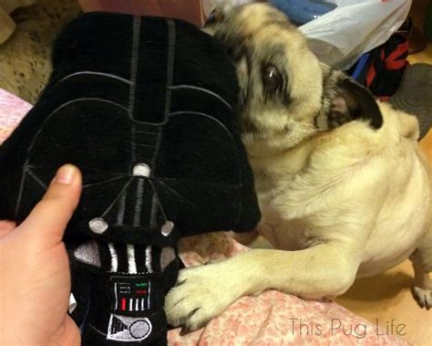 help my pug stinks help me pug you re my only this pug