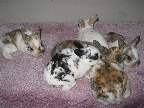 rex rabbit colors tri color mini rex rabbits tri color mini rex rabbits