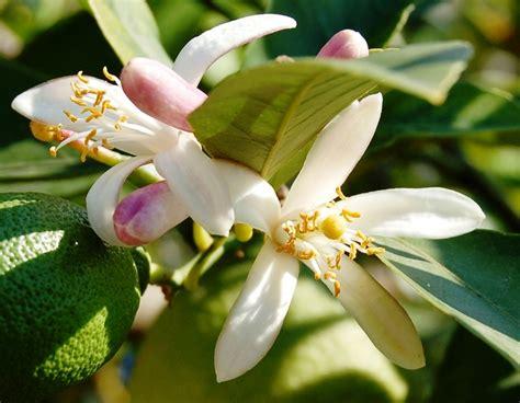 zagara fiore fiori zagare stratfordseattle